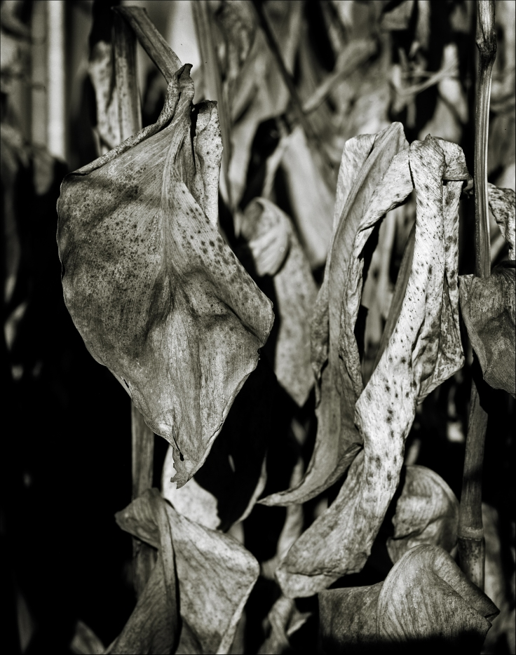 Canna dead leaves web