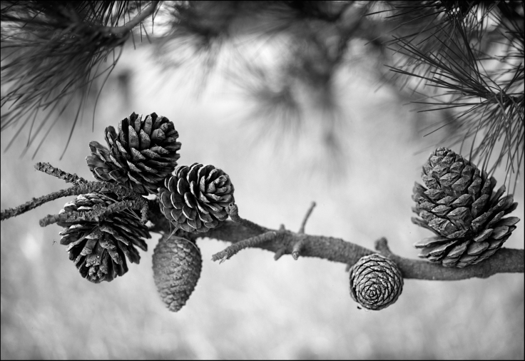 pine-cones-culverson-road24by16final-wip-copy